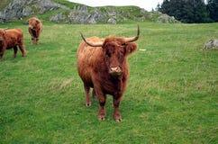 Корова лонгхорна на выгоне в Норвегии Стоковое Изображение RF