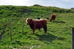 Корова лонгхорна на выгоне в Норвегии Стоковые Фото