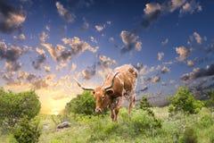 Корова лонгхорна пася на восходе солнца Стоковое Изображение RF