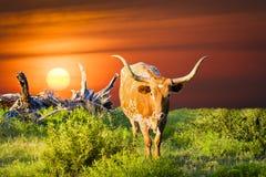 Корова лонгхорна пася на восходе солнца Стоковое Изображение