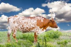 Корова лонгхорна Стоковое Изображение