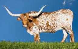 Корова лонгхорна Стоковые Изображения
