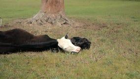 Корова ослаблятьая после давать лож рождения с newborn икрой на траве акции видеоматериалы