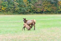 Корова лося терпеливо ждет как свои молодые медсестры Стоковое Фото
