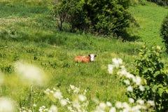 Корова отдыхает в зеленом поле Стоковые Изображения RF