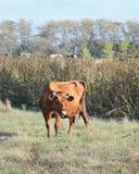 Корова пасет в горах Стоковая Фотография