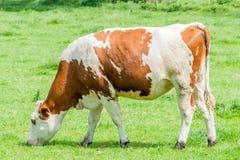 Корова пасет в луге Стоковая Фотография RF