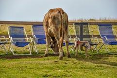 Корова пасет deckchairs в лете Стоковое фото RF