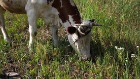 Корова пася в зеленом луге летом Корова на зеленом сельском поле Питаться и разводить скотин Животноводческие фермы для видеоматериал