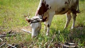 Корова пася в зеленом луге летом Корова на зеленом сельском поле Питаться и разводить скотин Животноводческие фермы для акции видеоматериалы