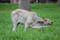 Корова пася в свежих выгонах Стоковые Изображения