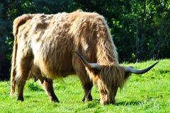 корова пася гористую местность Стоковые Изображения