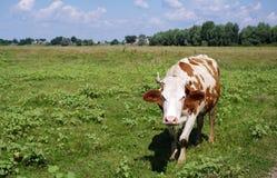 Корова пася на выгоне Отечественные скотины Стоковые Фото