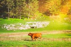 Корова пася на выгоне Стоковое Фото