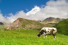 Корова пася на зеленом луге Стоковая Фотография