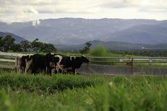 Корова пася на зеленом цвете Стоковое Изображение