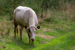 Корова пася на луге Стоковые Изображения RF