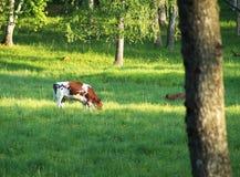 корова пася Стоковая Фотография