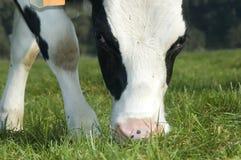 корова пася Стоковая Фотография RF