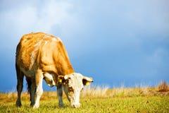 корова пася стоковые фотографии rf