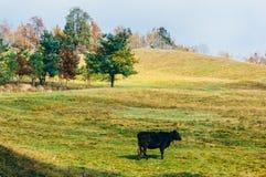 корова пася Стоковое Изображение