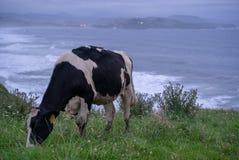 Корова перед океаном на зеленом поле стоковая фотография rf