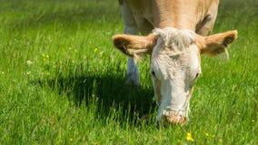 Корова подавая на зеленом выгоне Стоковая Фотография RF