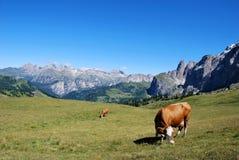 корова предпосылки Стоковое Изображение