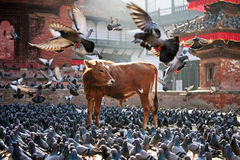 корова святейшая стоковая фотография