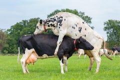 Корова скачет na górze другой молочной коровы Стоковые Фото