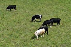 корова скотин Стоковое Изображение