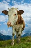корова смешная Стоковые Фото