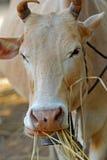 Корова соломы еды в Таиланде стоковые фотографии rf