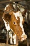 Корова стоя в стойле Стоковое Изображение