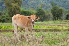 Корова стоя на зеленой ферме поля Стоковые Изображения