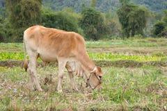 Корова стоя на зеленой ферме поля Стоковая Фотография RF