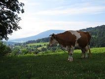 Корова стоя на луге горы с взглядом на красивых горах и облаках Стоковые Изображения