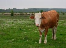 Корова стоя на луге Стоковое Изображение