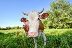 Корова с большим намордником вытаращить прямо в конец камеры вверх ландшафт фермы животных лето много sheeeps Смешная милая красн стоковое фото