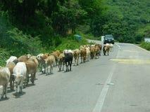 Корова с его икрой Стоковое Изображение RF