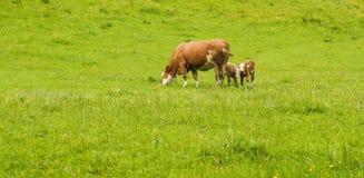 Корова с икрами Стоковое Изображение