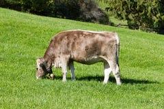 Корова с колоколом Стоковые Фотографии RF