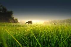 Корова с травой Стоковая Фотография