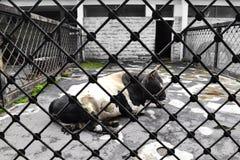 Корова с черно-белым цветом загородки (сеть) Стоковые Фото
