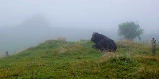 Корова фермы в тумане Стоковая Фотография