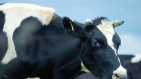 Корова фермы есть траву Скотины фермы есть траву Пасти скотоводческое хозяйство акции видеоматериалы