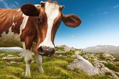 корова любознательная Стоковые Изображения