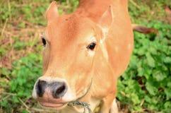 корова любознательная Стоковое Изображение RF