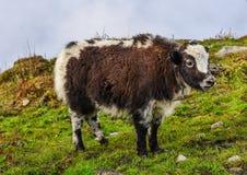 Корова яков на горе Annapurna, Непала стоковое изображение