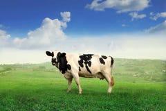 корова стоковые фото